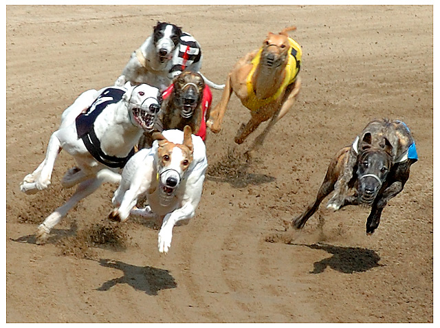 dog racing results